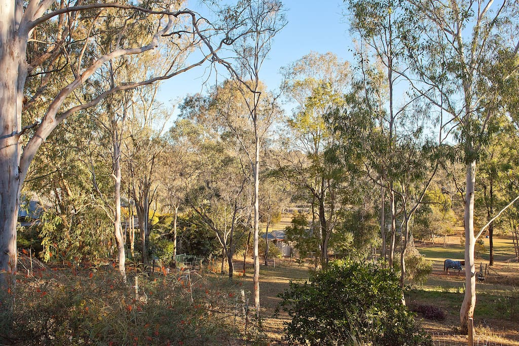 The Eucalyptus trees growing around our home.