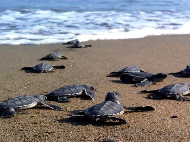 Vounaki Beach - Kareta-Kareta hatchlings