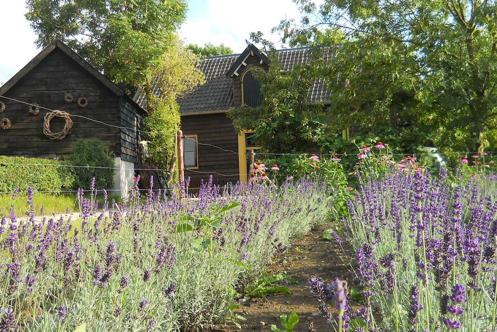 Lavender towards the Coach House