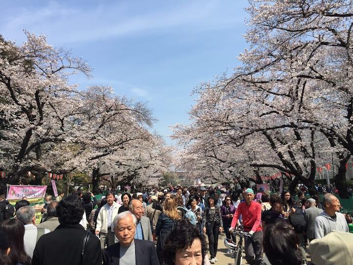 Cherry (Ueno Park)