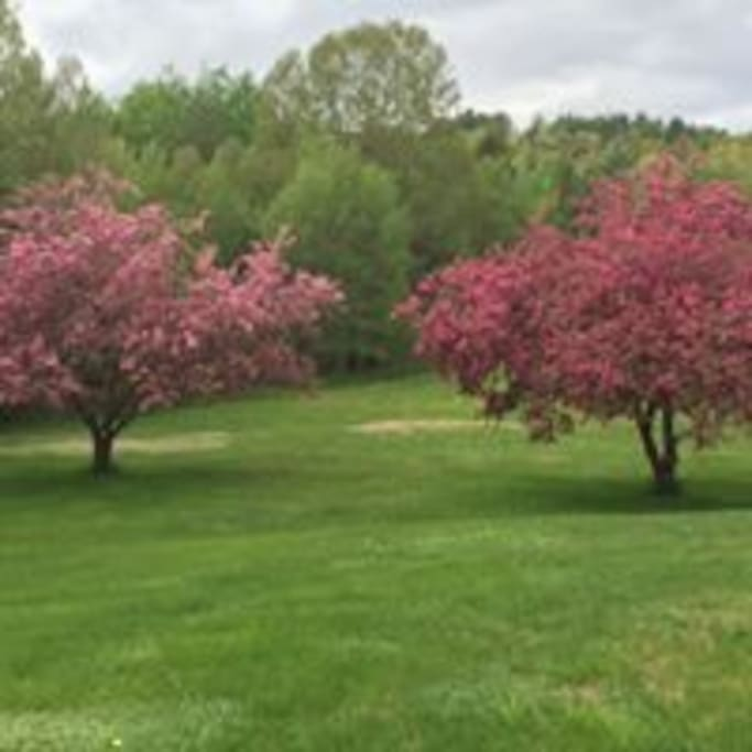 The two beauty crabtrees this year.