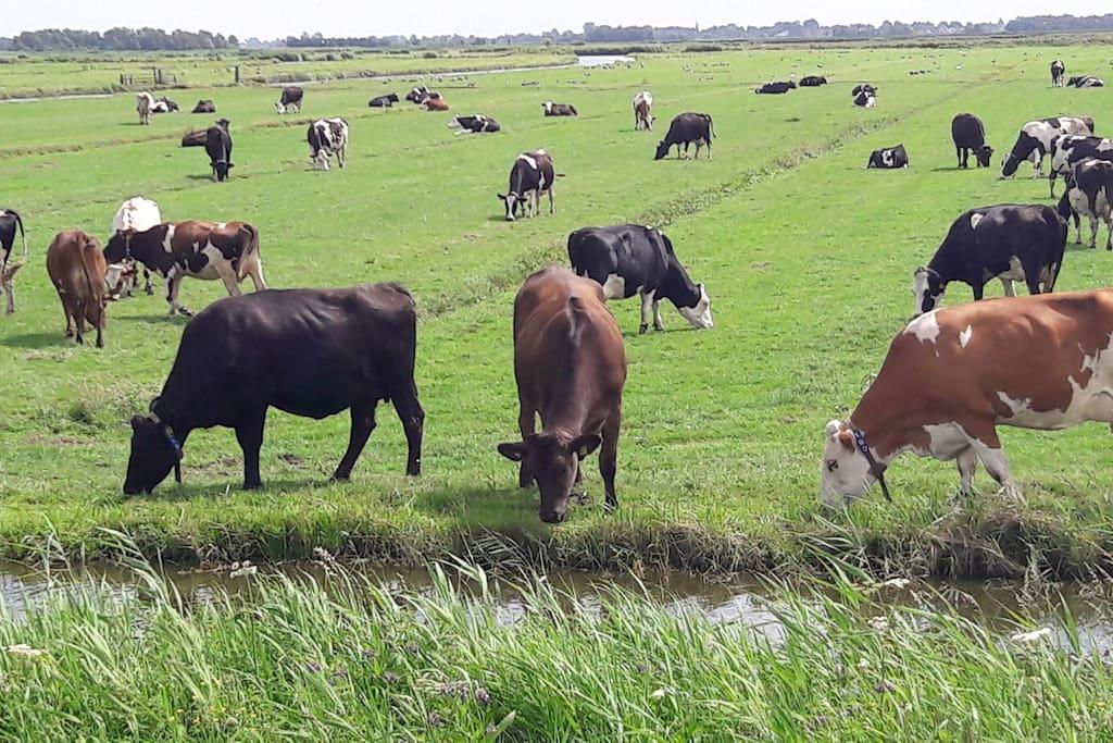 Onze koeien grazen in het natuurgebied Wormer-en Jisperveld