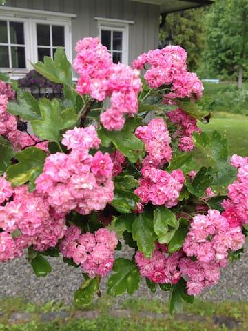 Blomstring i vår frodige hage