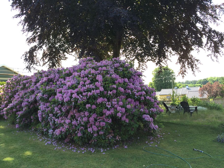 Crazy big rododendron