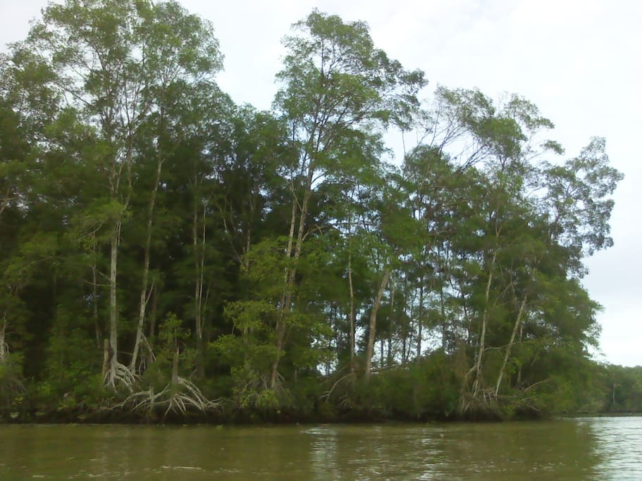Mangrooves near Limones (30 min from Solo Mar Ecolodge)
