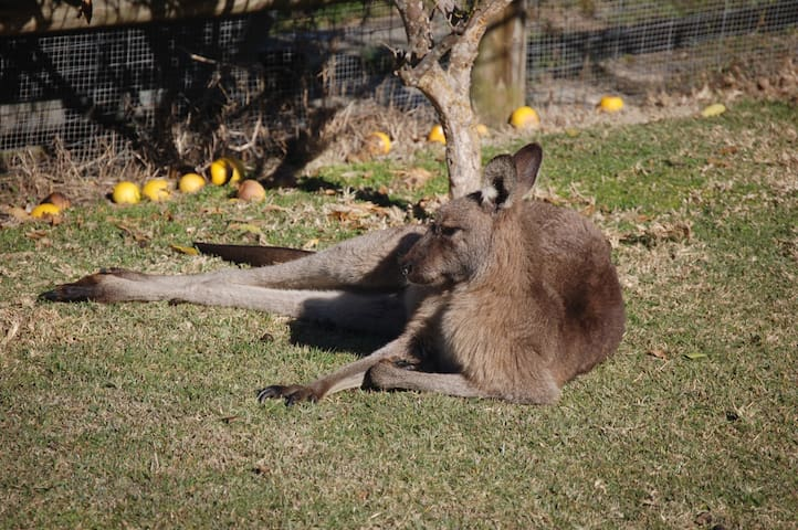 One of the many local Grey Kangaroos resting in the garden