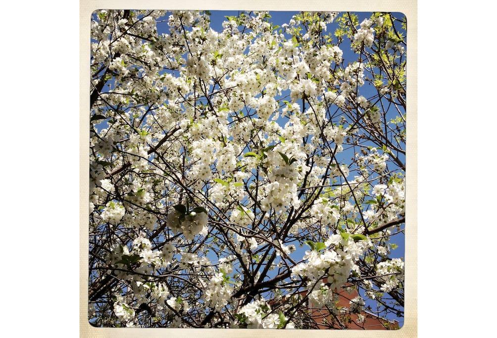 À quelques pouces du lit : un cerisier. —  Aside the bedroom window: a cherry tree.