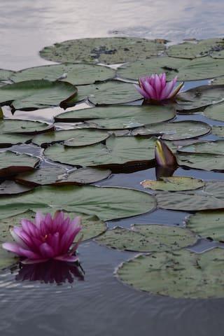 les nénuphars qui fleurissent l'été sur l'étang