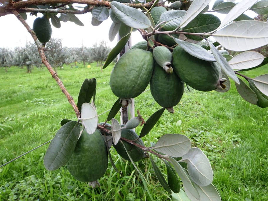 Our orchard grows Feijoas, a unique New Zealand fruit (April-June)