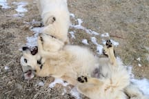 Our 4 Great Pyrenees dogs guard the goats from predators and are always excited to play with people.