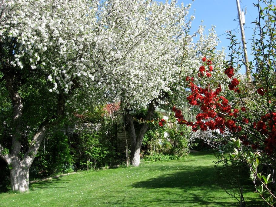 Blooming old Apple Trees and Quince