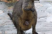 Aquila grounds: Swamp wallaby