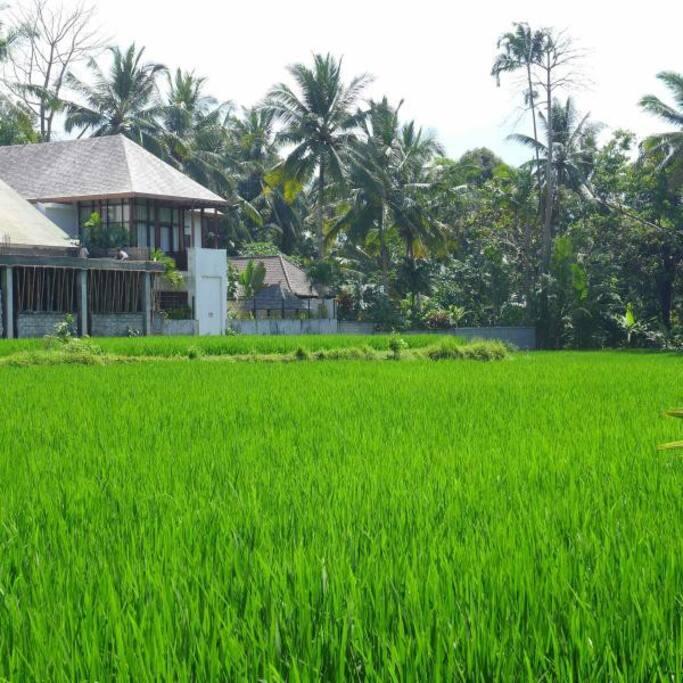 Villa viewed across rice fields