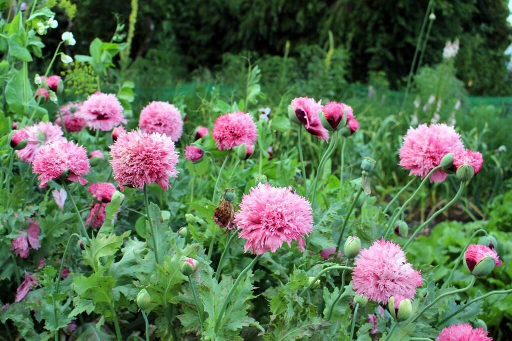 poppies in  the garden