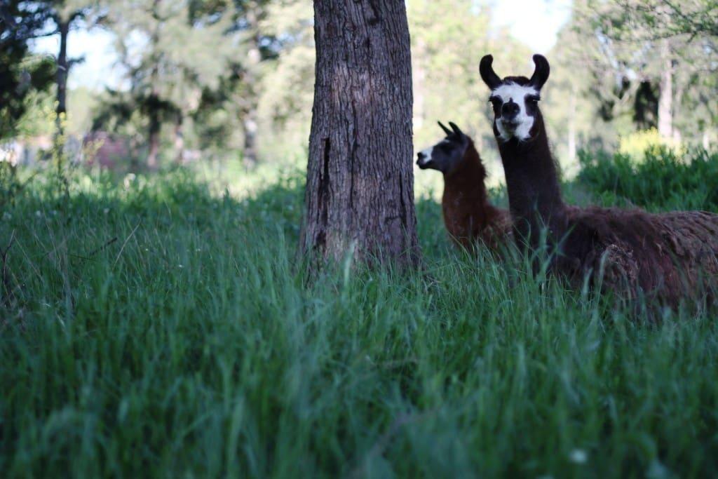 En nuestra granja conviven llamas, caballos, pájaros, ganzos, patos y gallinas en libertad y armonía con el ecosistema