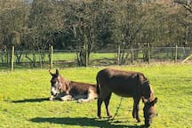 The donkeys enjoy the fresh spring grass on one of the paddocks