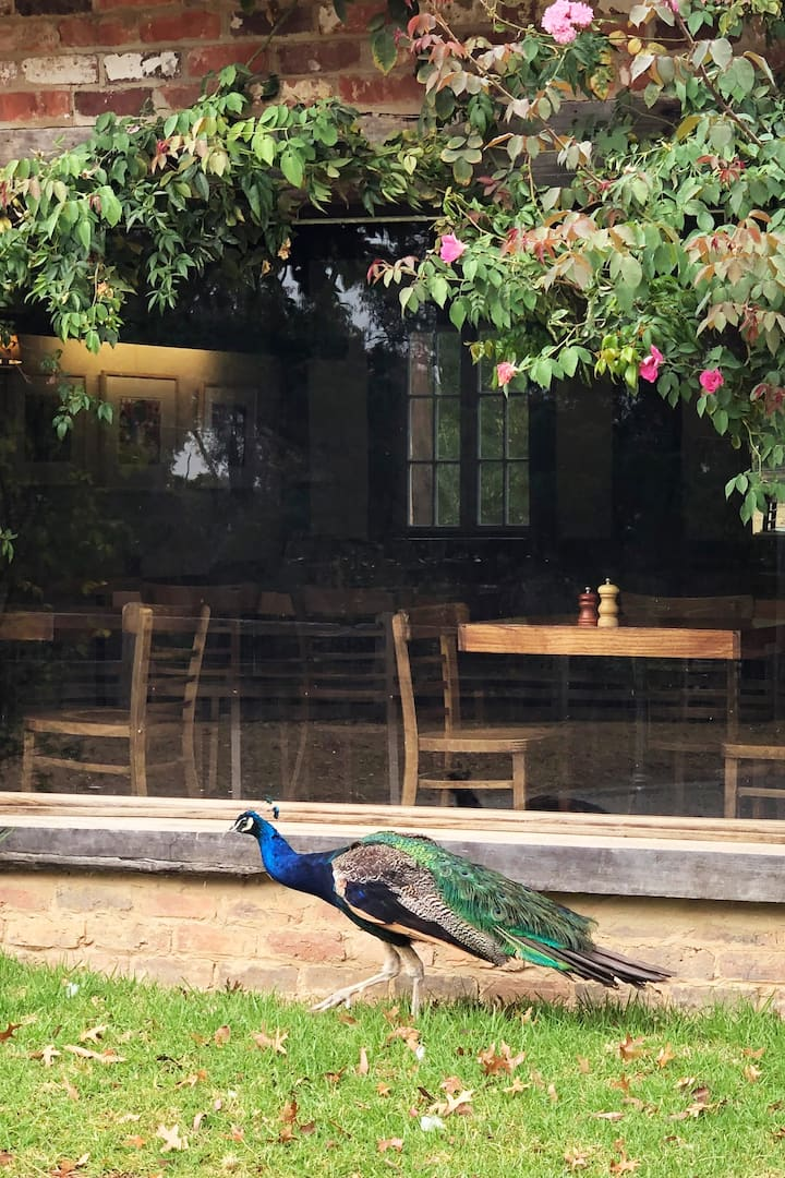 Peacocks at Montsalvat