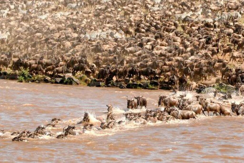Wildebeest Migration along mara River
