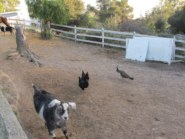 In addition to the horse, goats and chickens we also have two dogs and a cat.  The peacock in this picture was just visiting.