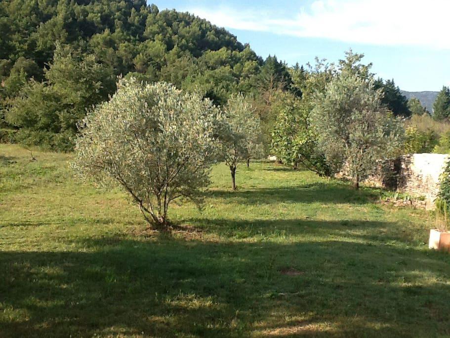 Le terrain et ses oliviers