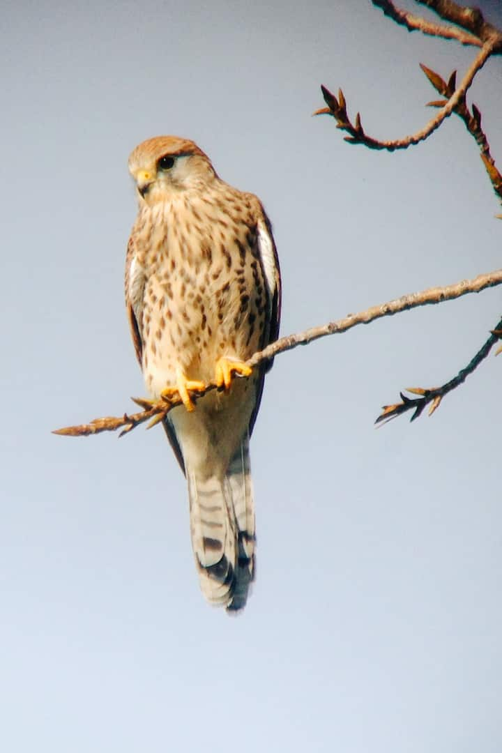 A Common Kestrel watches us from a tree