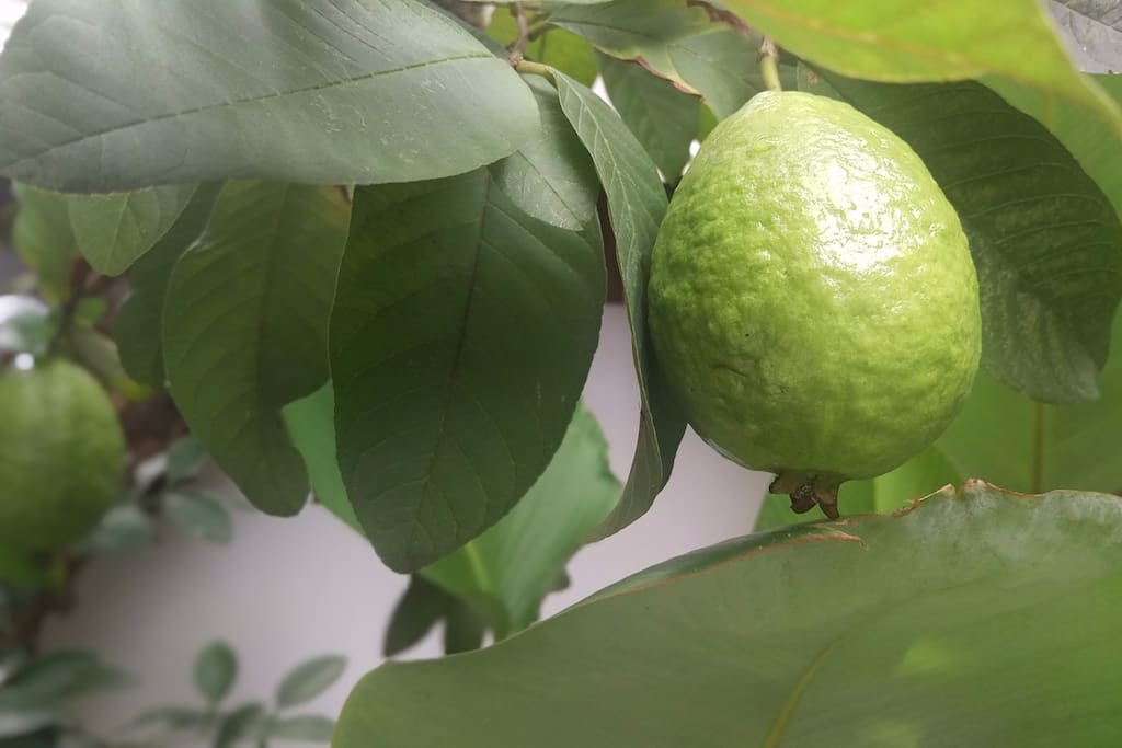 Our red guava in the garden can be your medicinal fruit good for your digestive health, immune system and blood pressure