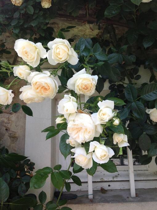 les roses le long de la maison