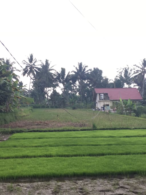 House surrounded by paddy fields