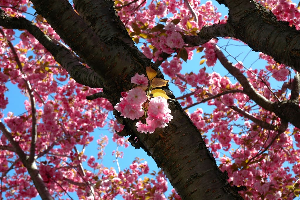 Cherry trees in bloom in spring.