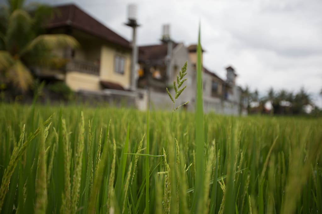 The stunning views of Bali's famous rice fields.