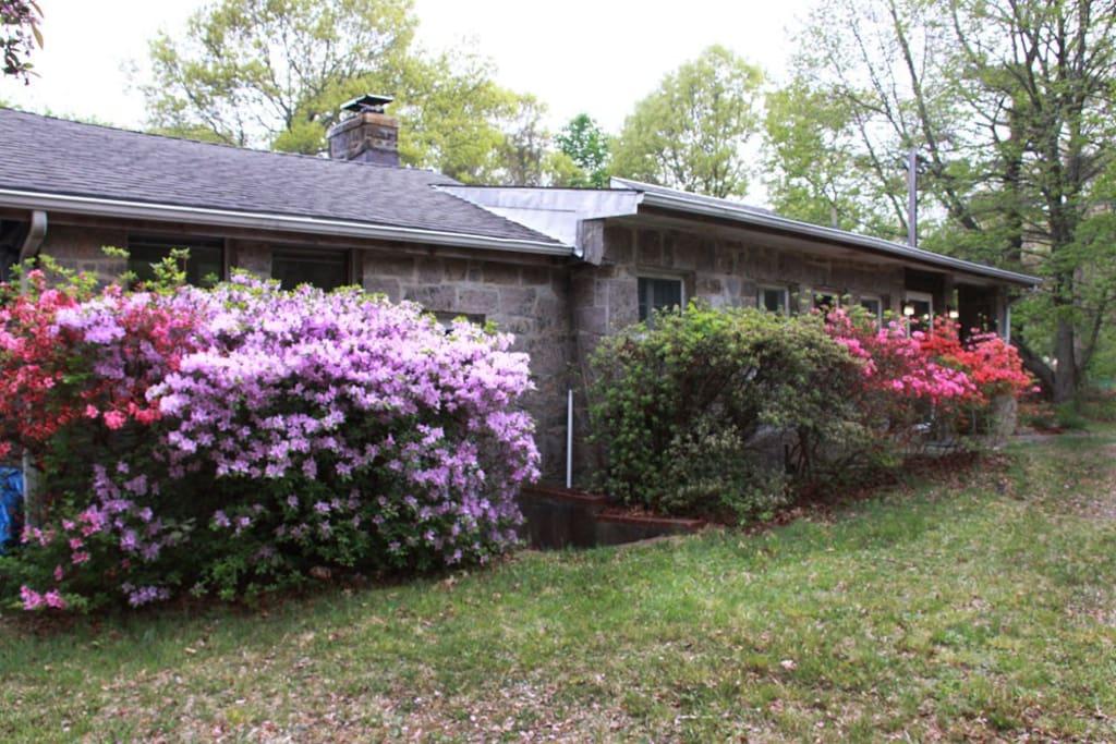 Azaleas bloom in spring.