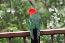 A visiting King Parrot