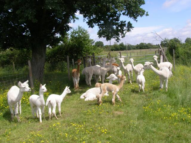 Relax on holiday with Alpacas - Le Breuil-sous-Argenton - House