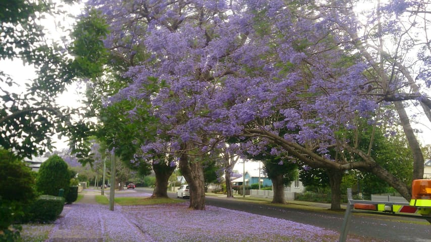 JACARANDA  in bloom (October) outside our cottage...amongst the beautiful trees lining Alice Street...