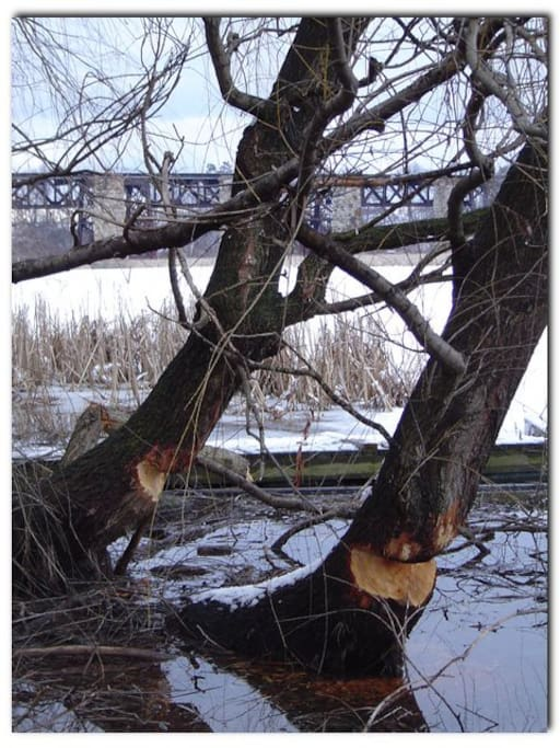 Beaver chewed the willow trees at the bottom of the propery on the Twenty Mile Creek. CNR railway trestle to the north east in the background.