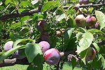 Mevsimine göre meyveler