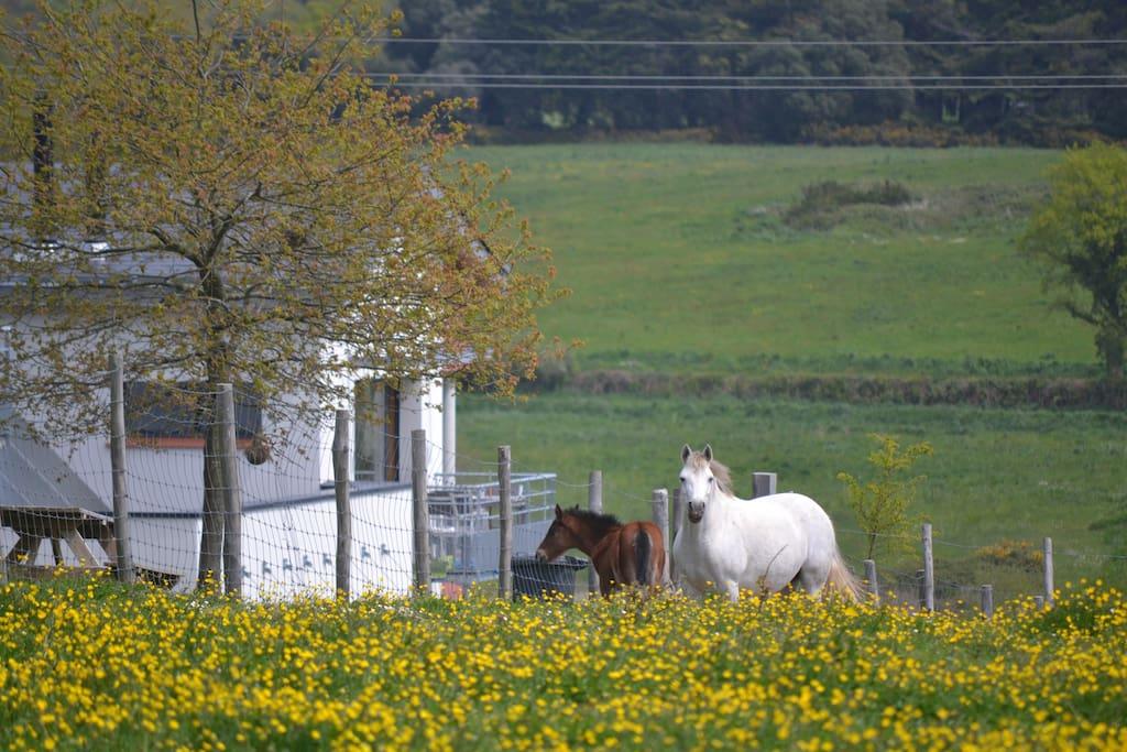 Chevaux et poulains dans les prairies