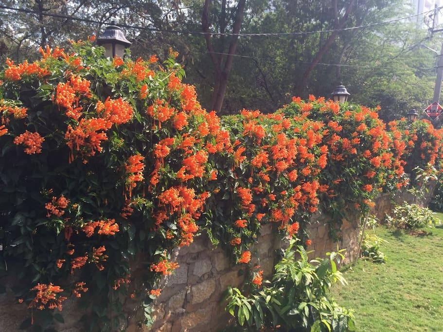 Wall creeper in full bloom /January