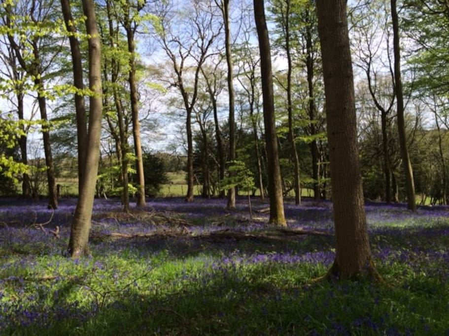beautiful bluebells in our wood , ready for you to walk in.