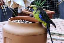 Cheeky parrots on the deck