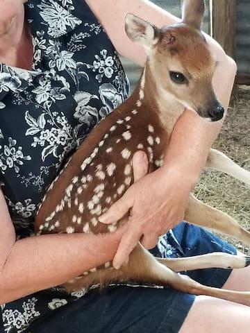 Buddy the Orphaned Deer