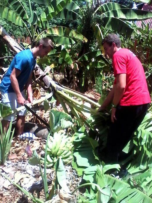 Harvesting the platanos for the Sancocho (Dominican Stew)