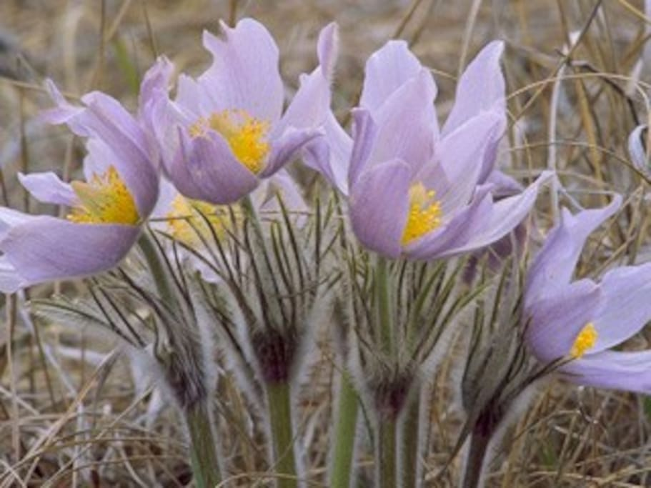 Pasqueflowers are among the first bloomers in Eldora