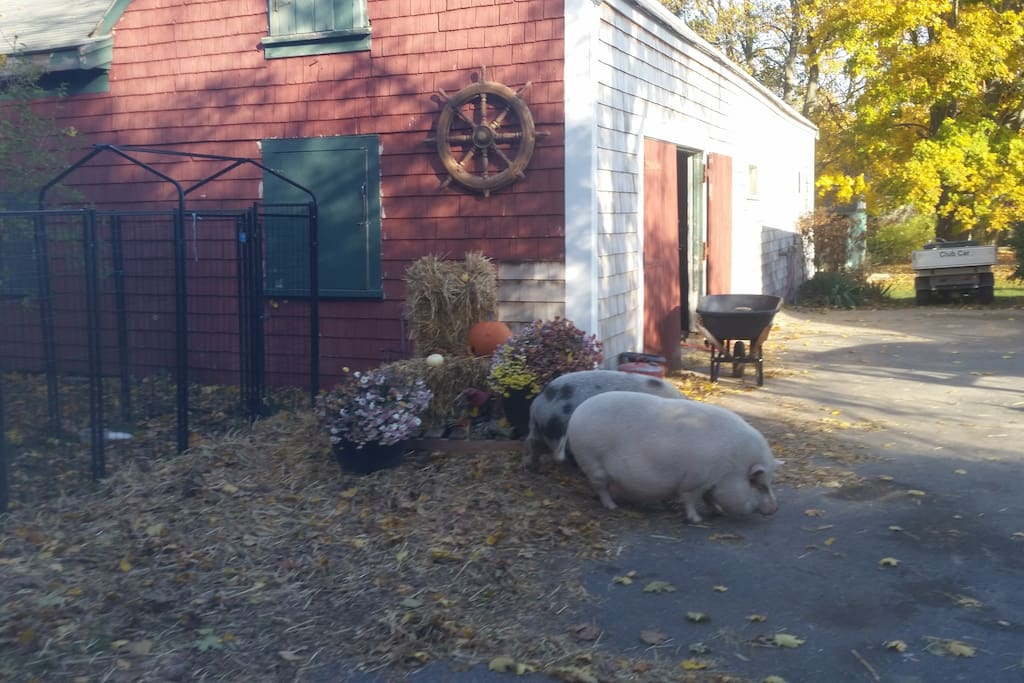 Wilbur and Donut - fun to feed and brush.