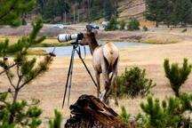 An unusually curious elk