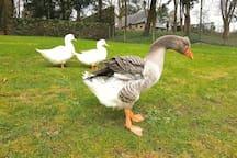 notre oie est la gardienne de l'étang. Gardez vos distances, ne vous laissez pas impressionnés et surveillez les enfants.