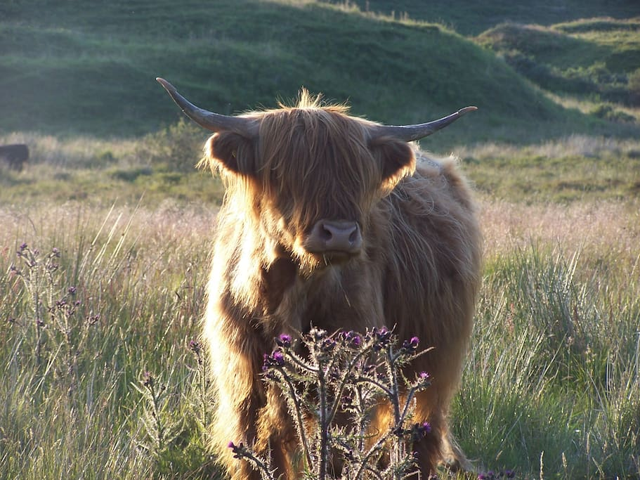 'Toffee Coffee' one of our highland cows