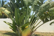 FAN PALM - GROWS NORTH TO SOUTH