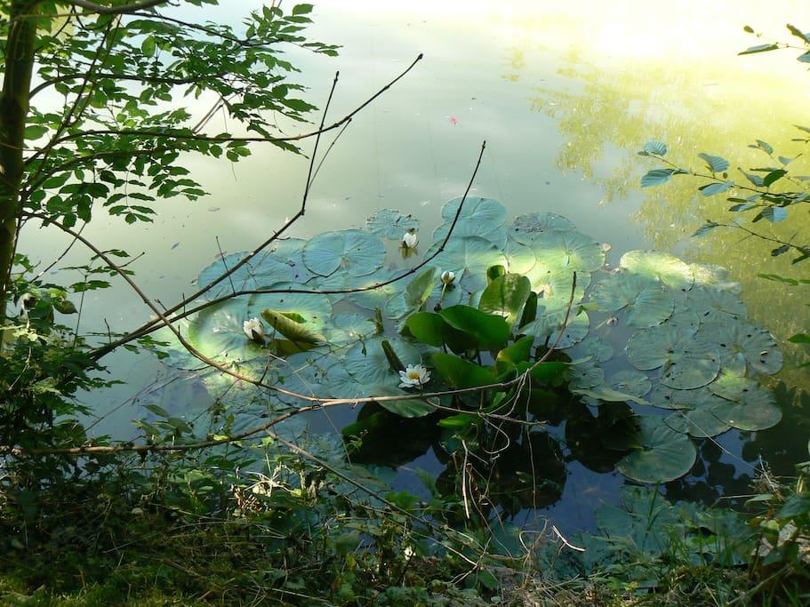 les nénuphars de l'étang