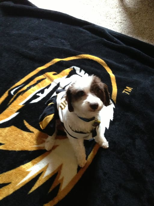 Resident puppy Zoey showing her Mizzou pride.